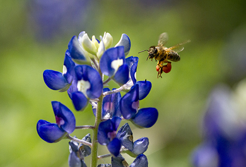 bluebonnets and bee